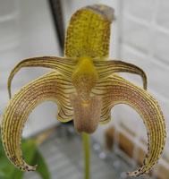 Bulbophyllum lobii