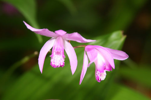 Bletilla striata, the Chinese Ground Orchid
