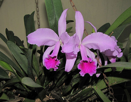 Care of Cattleya Orchids Cattleya Orchid