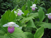 Cypripedium reginae, the Showy Lady Slipper
