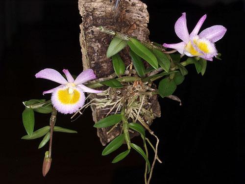 Dendrobium loddigesii grown mounted