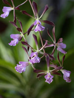Encyclia Ginger Snap