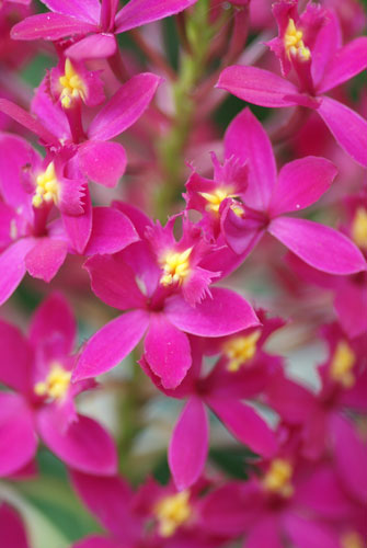 Epidendrum Star Valley 'Violet Queen'