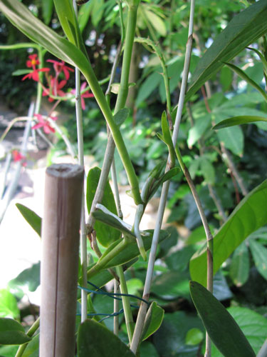 Keikis on an Epidendrum
