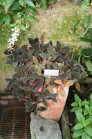 Ludisia discolor, the Jewel Orchid