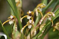 Maxillaria picta, a Tiger Orchid