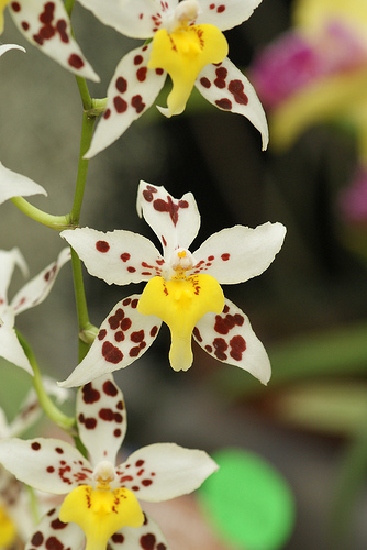Odontoglossum Species´ Red Spotlight´ Flowering Strong Plant Orchid Orchids