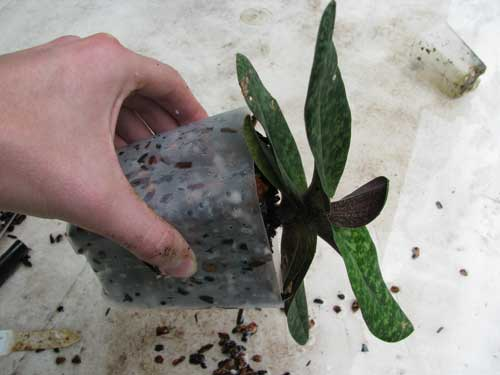An orchid turned on its side to show that the potting mix is packed densely enough to keep the plant steady