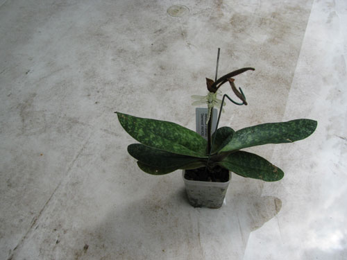 A Paphiopedilum ready for repotting