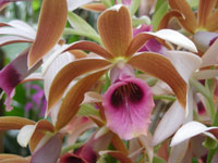 Phaius tancarvilleae, the Nun Orchid