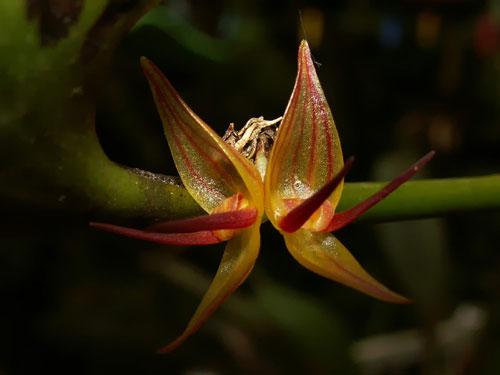 Pleurothallis crescentillabia