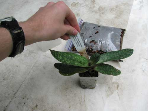 Removing the nametag from Paph. Vanda M. Pearman in preparation for repotting