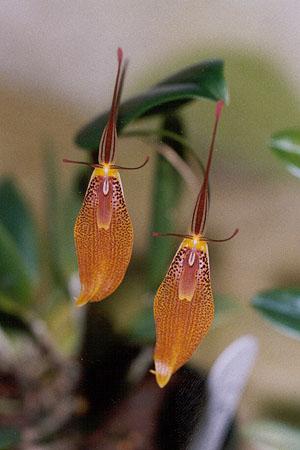 Rstp. elegans