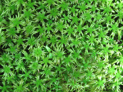 New Zealand Sphagnum Moss