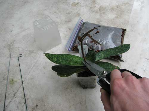 Trimming off the orchid's old flower stem