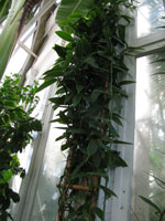 Vanilla planifolia, the Vanilla Orchid