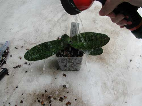 Watering the orchid after repotting