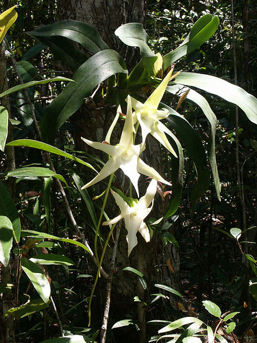 angraecum sesquipedale christmas orchid darwin s orchid