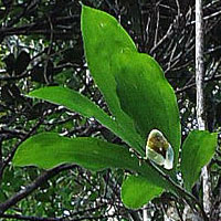 Catasetum macrocarpum