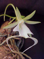Dendrophylax lindenii, the Ghost Orchid