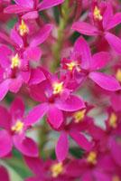 Epidendrum Star Valley 'Violet Queen'