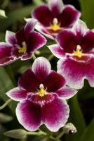 Miltoniopsis Hajime Ono, a Pansy Orchid
