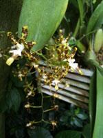 Oncidium lindleyi