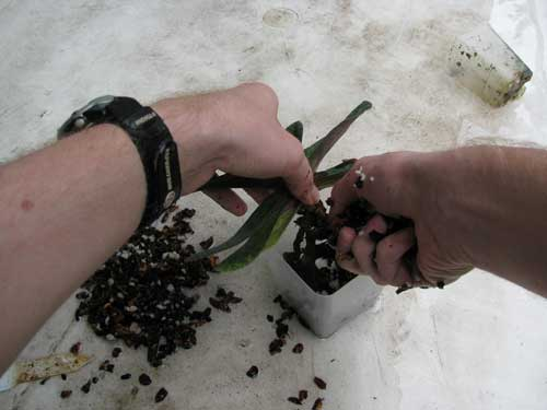 Filling in orchid potting mix during repotting