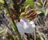 Zygopetalum sincoranum