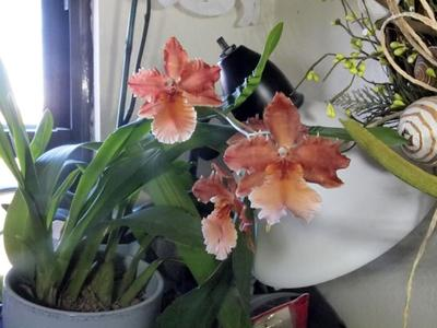 Please help me identify this orchid.
